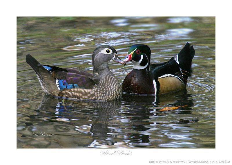 Wood Ducks Photo By Ken Buckner