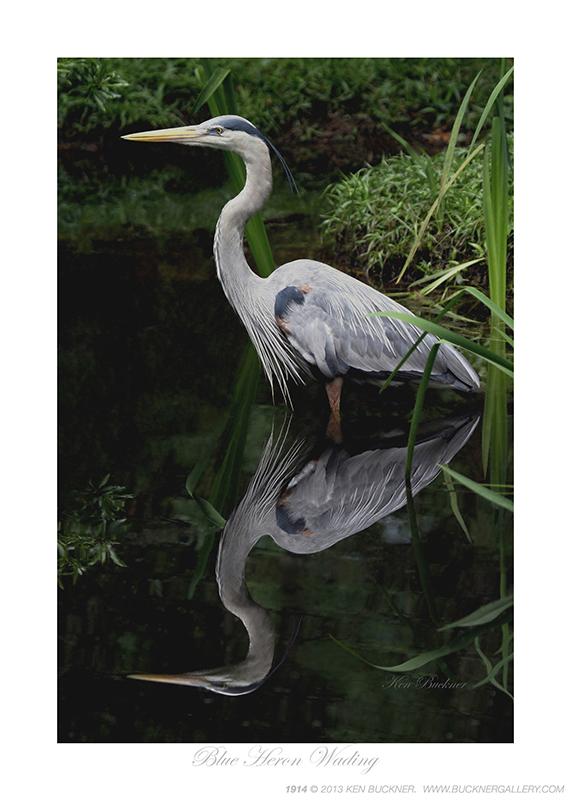 Blue Heron Wading Photo By Ken Buckner