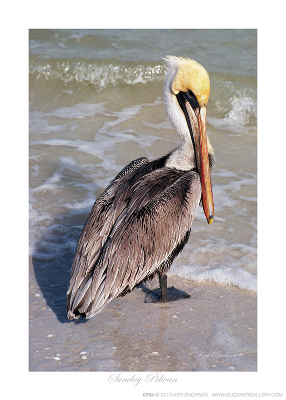 Sunday Pelican Photo By Ken Buckner