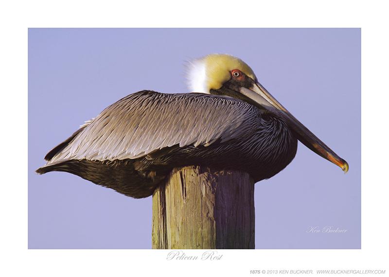 Pelican Rest Photo By Ken Buckner