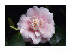 Camellia Ken Buckner