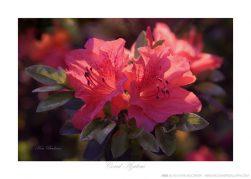 Coral Azaleas Ken Buckner