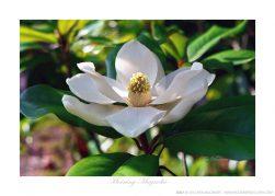 Morning Magnolia Ken Buckner