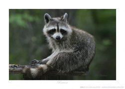 Raccoon Ken Buckner