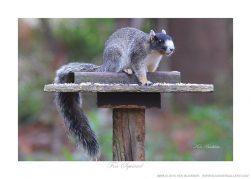 Squirrel Fox Ken Buckner