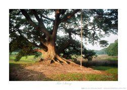 Tree Swing Ken Buckner