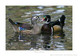 Wood Ducks Ken Buckner