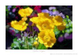 Yellow Poppies Ken Buckner
