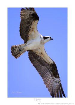 Osprey Ken Buckner