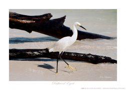 Driftwood Egret Ken Buckner