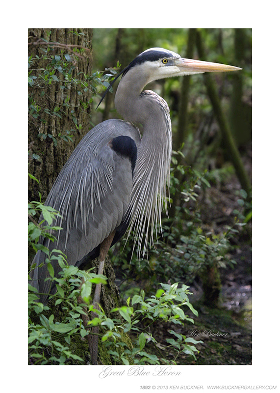 Great Blue Heron Ken Buckner