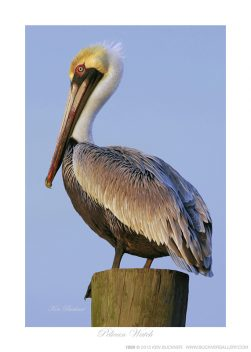 Pelican Watch Ken Buckner