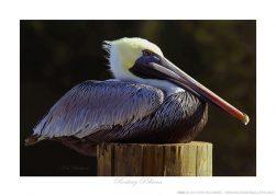 Resting Pelican Ken Buckner