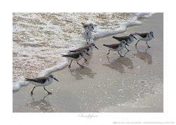 Sandpipers Ken Buckner