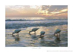 Sunset Ibis Ken Buckner