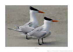 Terns Ken Buckner