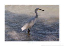 White Heron Ken Buckner