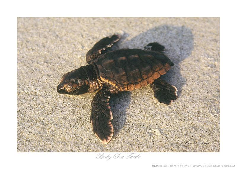 Baby Sea Turtle Ken Buckner