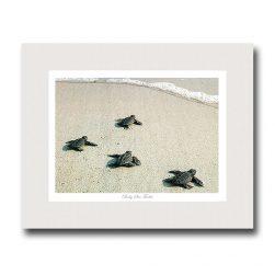 baby-sea-turtles-miller-pope