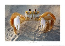 Ghost Crab Ken Buckner