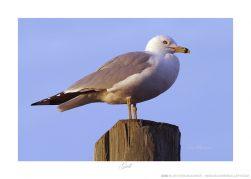 Gull Ken Buckner