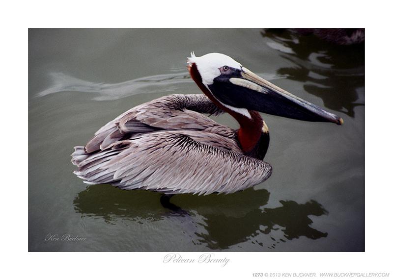 Pelican Beauty Ken Buckner
