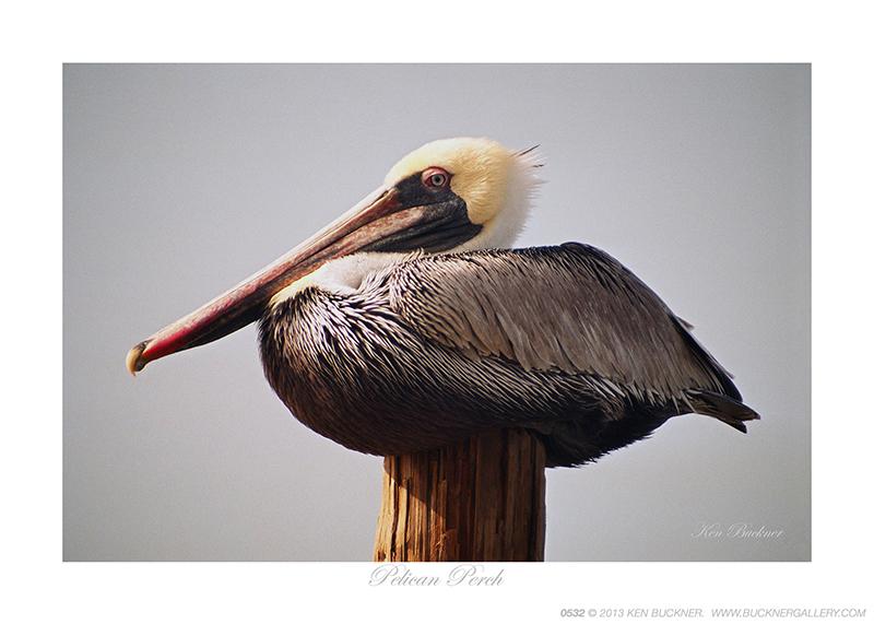 Pelican Perch Ken Buckner