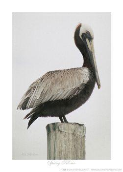 Spring Pelican Ken Buckner