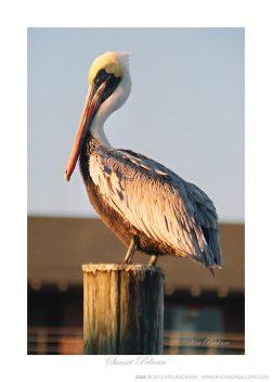 Sunset Pelican Ken Buckner