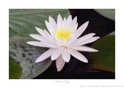Water Lily Ken Buckner