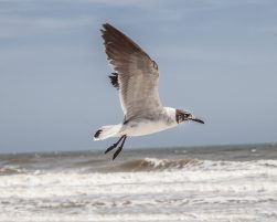 Gull in Flight by Dwayne Schmidt