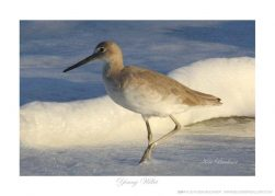 Young Willet- Photo by Ken Buckner