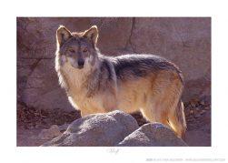 Wolf - Photo by Ken Buckner